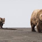 Brown Bear, (