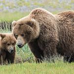 Brown Bear with yearling (2nd summer) cub, Katmai National Park, Alaska