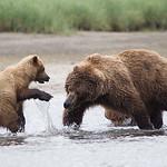 female Brown Bear with yearling (2nd summer) cubs Katmai National Park, Alaska