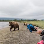 female Brown Bear with yearling (2nd summer) cubs, Katmai National Park, Alaska