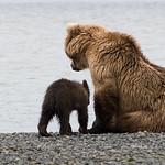 Brown Bear (