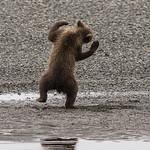 spring (1st summer) Brown Bear cub, Katmai National Park, Alaska