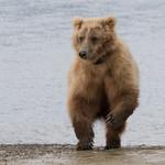 Brown Bear (with broken left wrist), Katmai National Park, Alaska