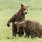 yearling (2nd summer) Brown Bear cubs, Katmai National Park, Alaska