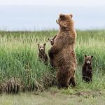 Brown Bear with 3 spring (1st summer) cubs, Katmai National Park, Alaska